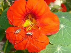 Nasturtium Visitors