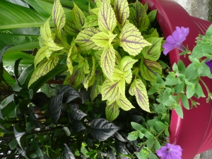 Chartreuse leaves with purple viens