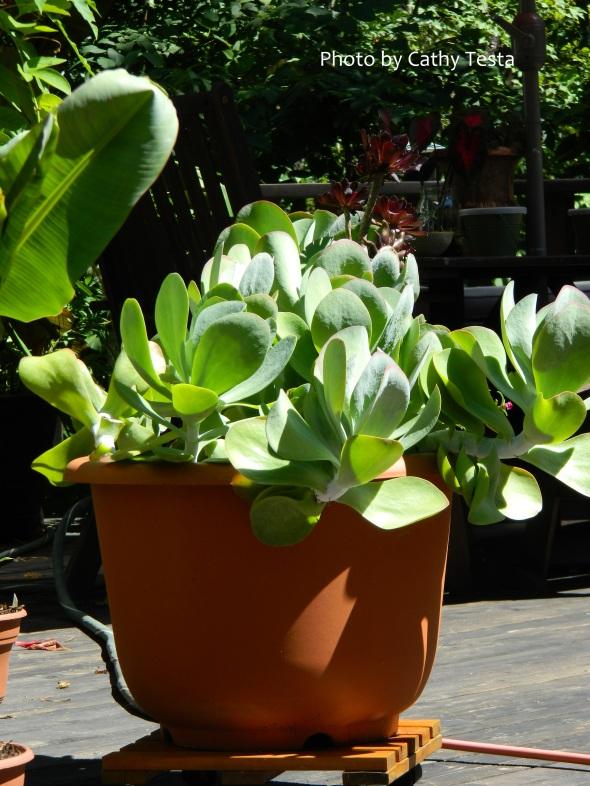 Paddle Plant Kalanchoe