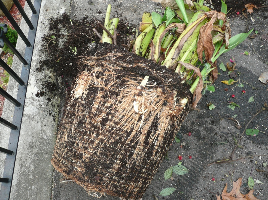 Canna Roots