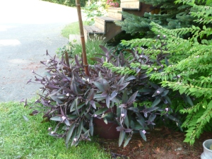 Purple by shrubs