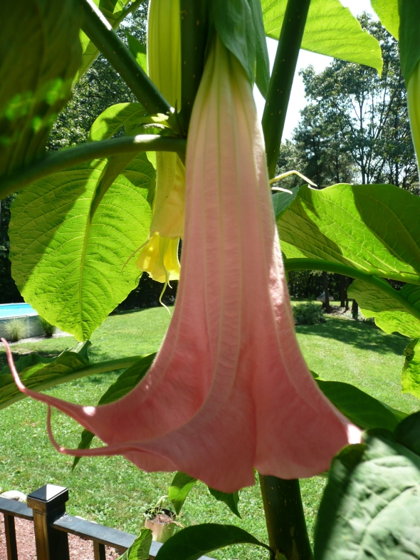 Brugmansia tropical - Available at this Year's Workshops