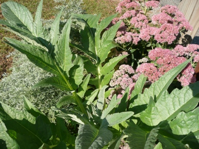 Cardoon with Blooms