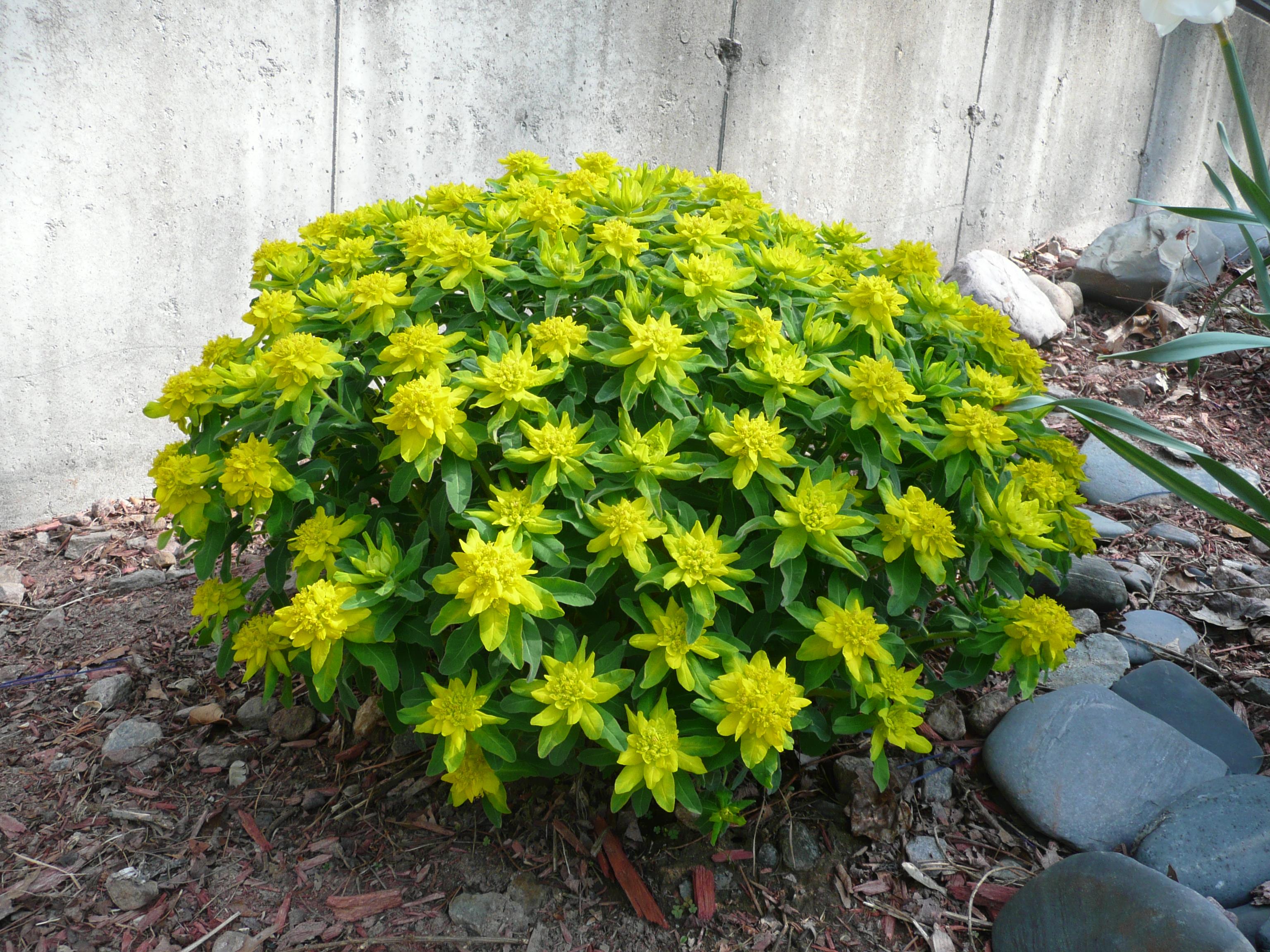 euphorbia plant care instructions