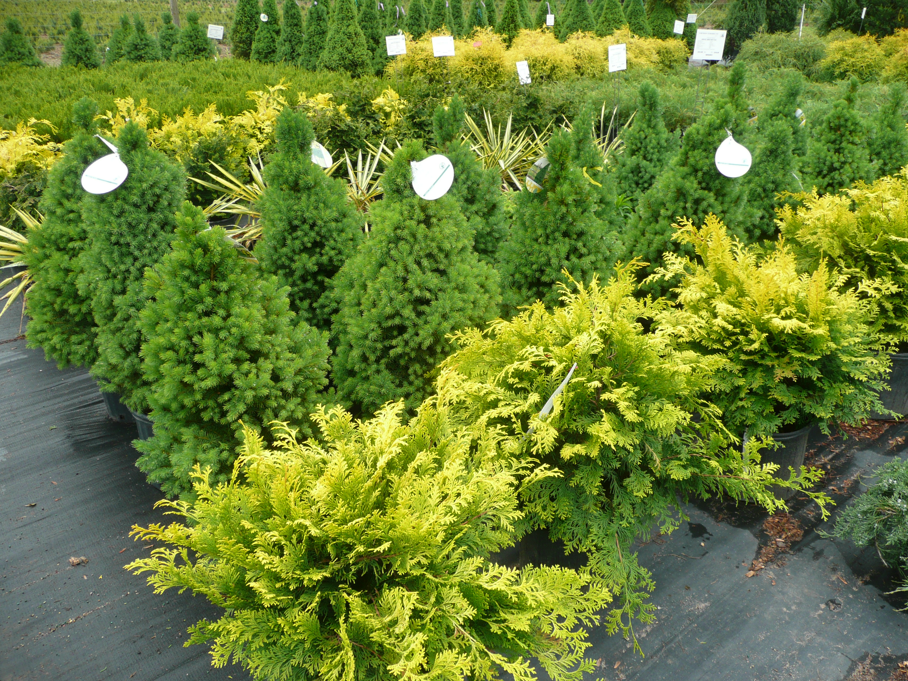 picea glauca conica dwarf alberta spruce container crazy cathy t. Black Bedroom Furniture Sets. Home Design Ideas