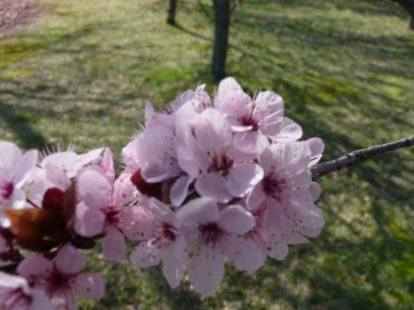 Prunus tree - April Blooms