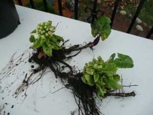 Petasites root system