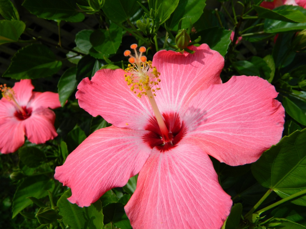 How to Overwinter Tropical Hibiscus (1/2)