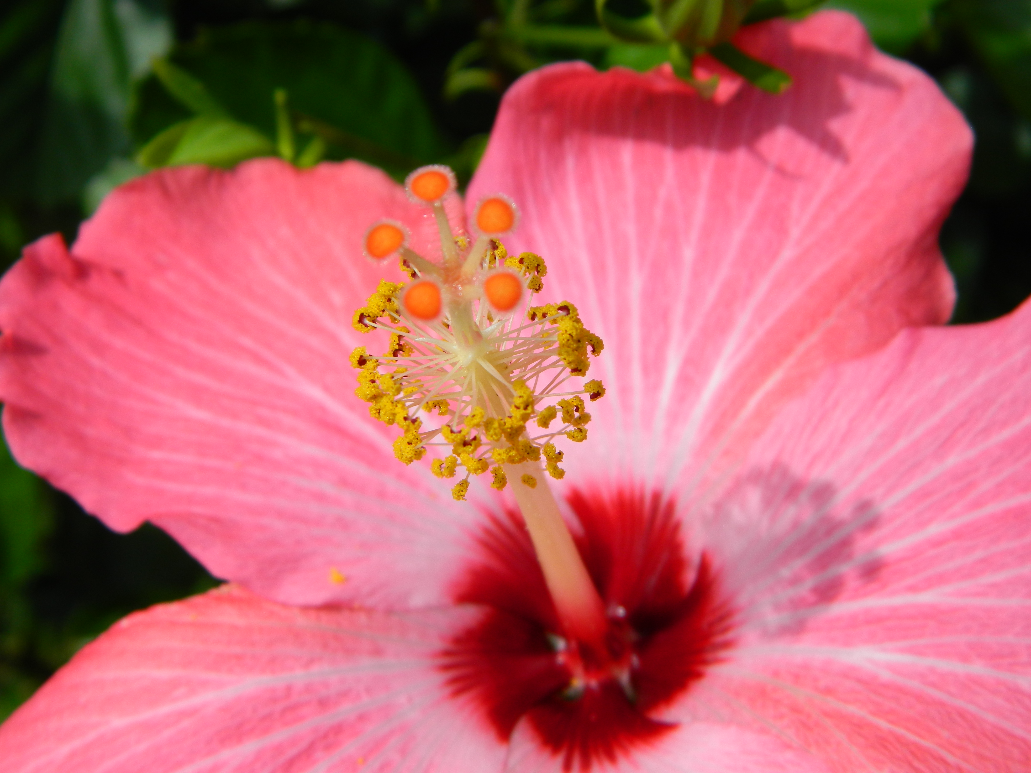 How to overwinter tropical hibiscus container crazy ct center of flower izmirmasajfo Image collections