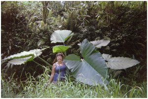 Cathy T in Hawaii, spotted big elephant ears on road side, pulled over! A plant that is poisonous if not cooked properly.