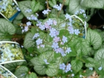 Blooms of Brunnera perennial