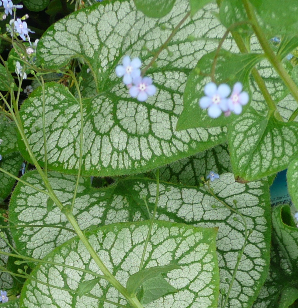 Bragging About Brunnera Macrophylla Jack Frost Container Crazy Ct