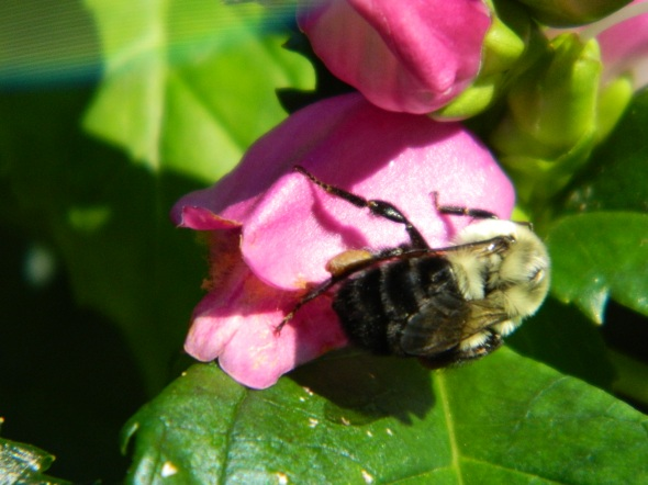 Bee enjoys a Perennial (Turtlehead)
