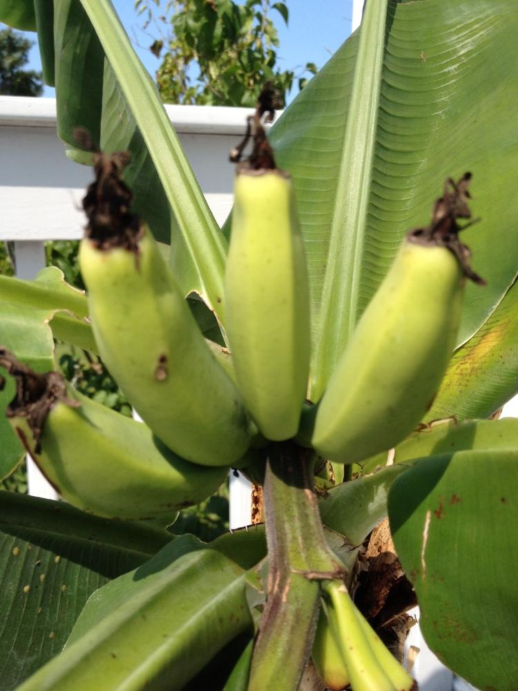 Taking Down Musa 'Basjoo' Banana Plants (1/3)