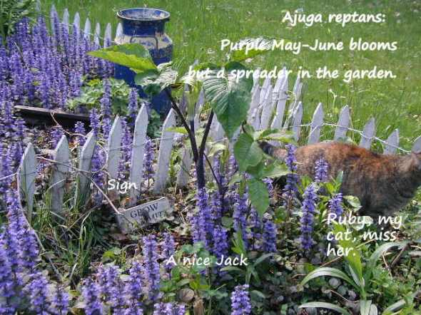 Bugleweed, a spreader and seed producer.
