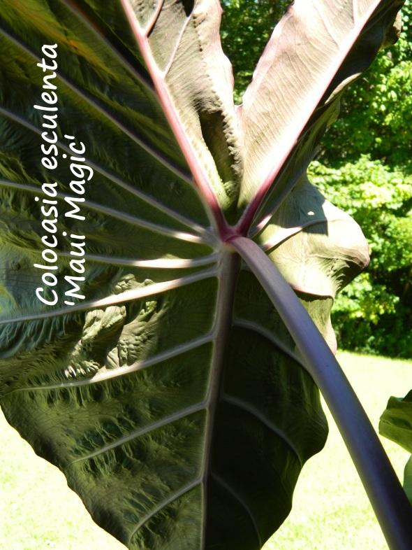 August photo; back of 'Maui Magic' leaf
