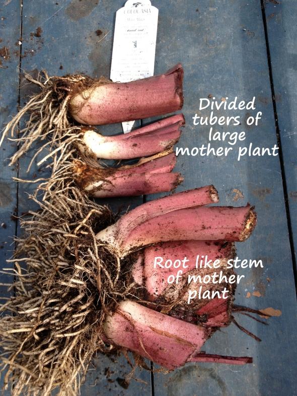 Tubers at base of stems