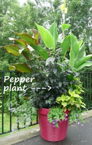 Black foliage and purple peppers