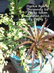 Burgundy Ice Dyckia