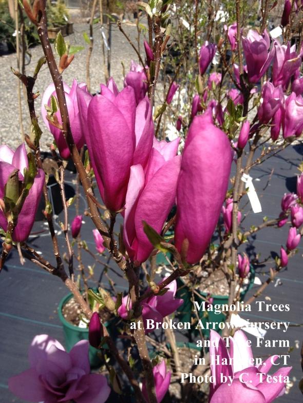 Magnolias at Broken Arrow