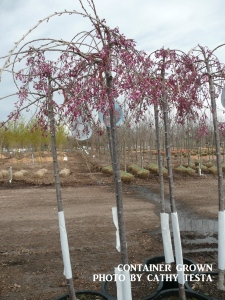 Container Grown Tree Example