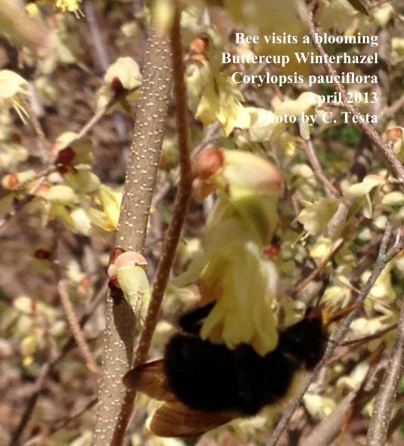 Bee busy on a winterhazel