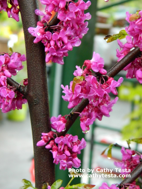 Redbud Tree Buds