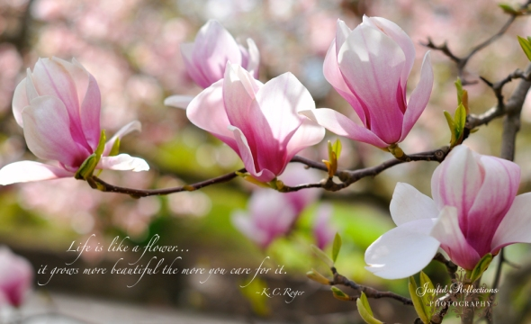 Magnolia Tree Blooms by Catherine Cella of Joyful Reflections Photography