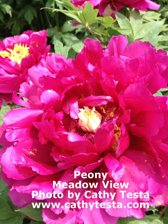 A stunning peony in the garden displays