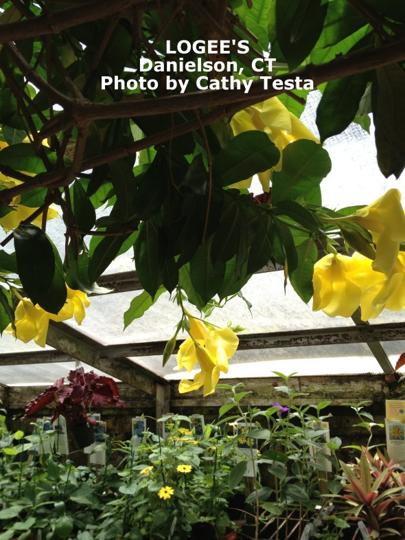 Allamanda cathartica in bloom