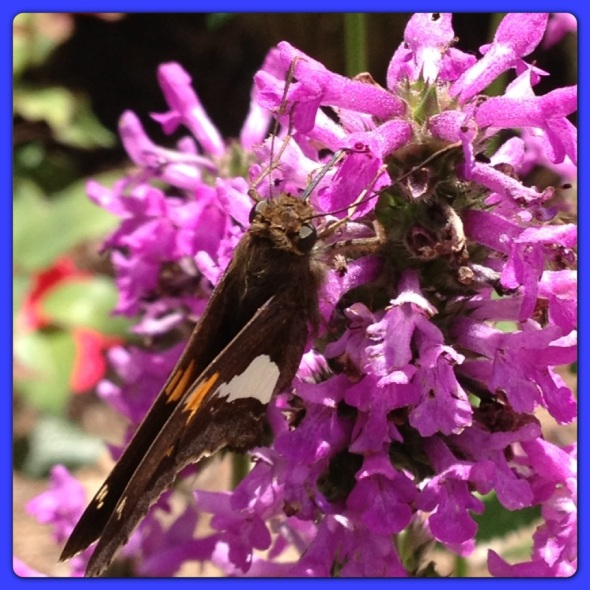 Butterfly visits in Early July