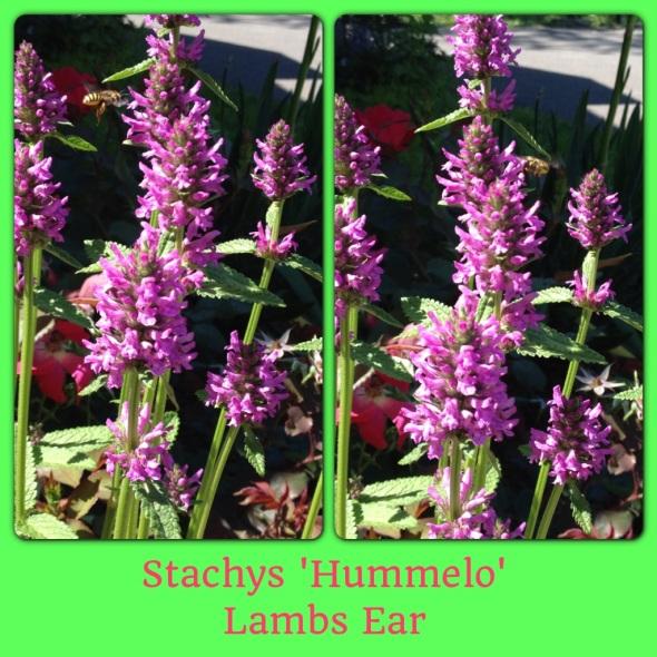 Lamb's Ear Perennial