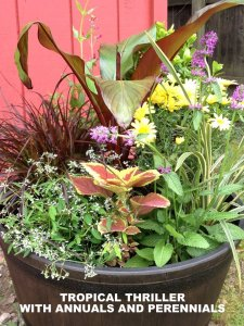 'Hummelo' in a Container Garden