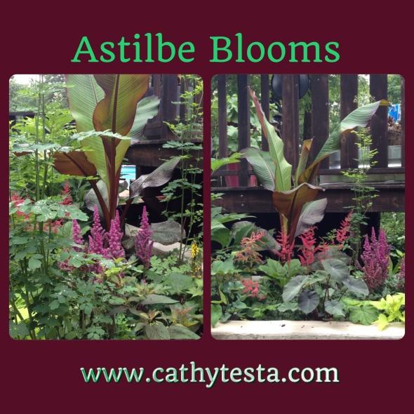 Astilbe perennial blooms