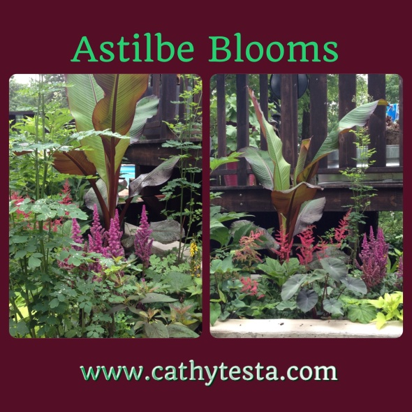 Astilbe perennial blooms