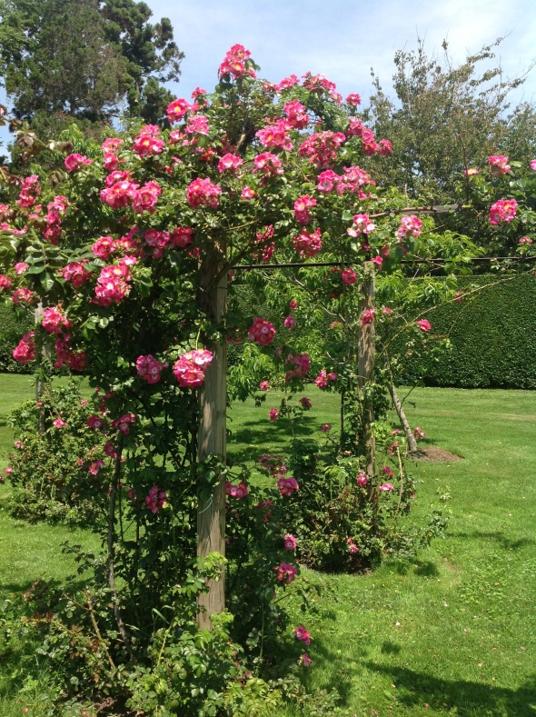Roses blooming in Gardens