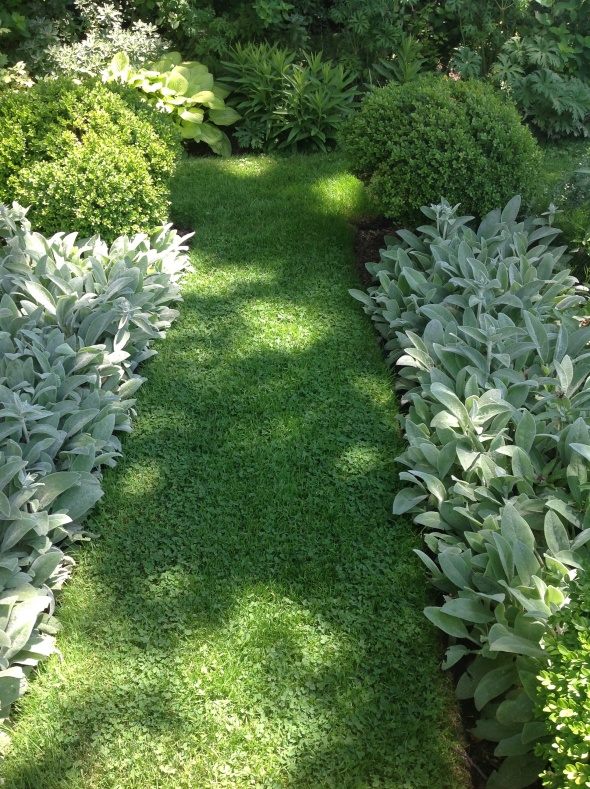 lambs ear perennial lines edges of garden