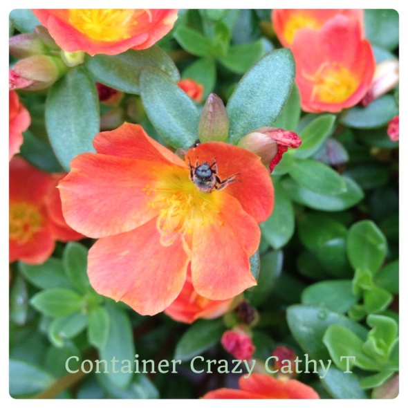 Orange with yellow centers of Portulaca