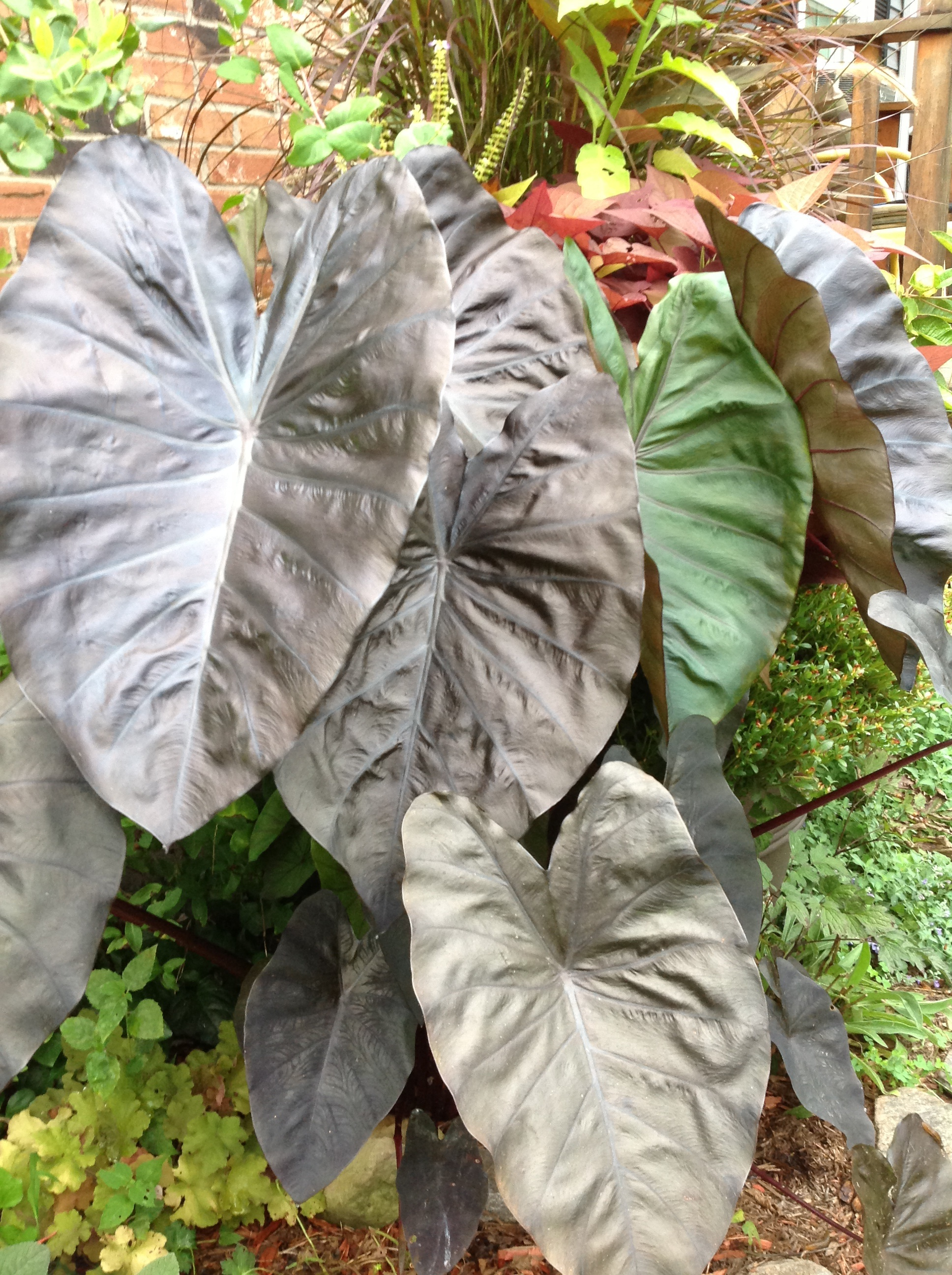 Colocasia elephant ears, tropical
