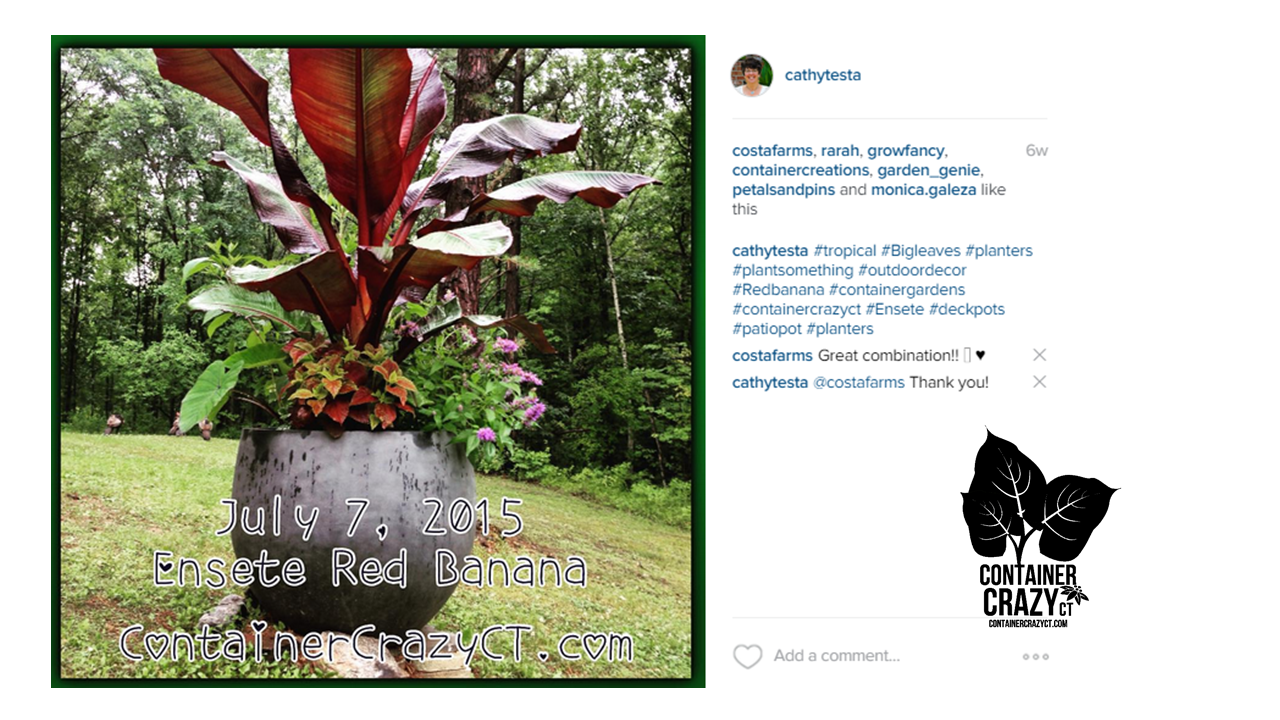 Instagram screen of my big red banana plant