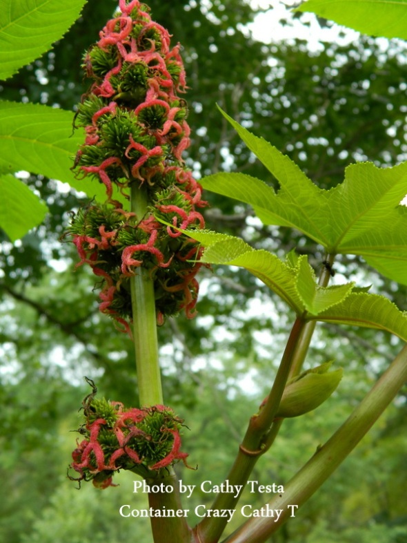 Female Flowers on a Castor Bean Plant