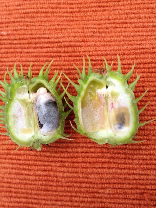 Immature seeds in the capsule.  Photo by Cathy Testa