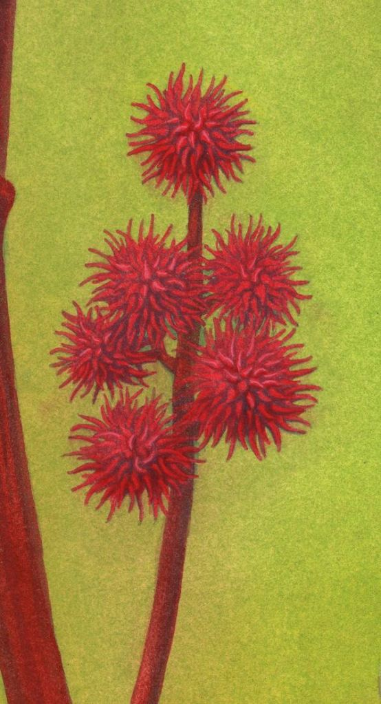 Nancy Farmer's artwork of the red seed capsules of a cultivar the castor bean plant