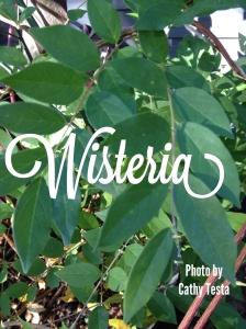 Wisteria Cathy Testa