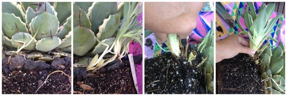 Pulling away offshoots