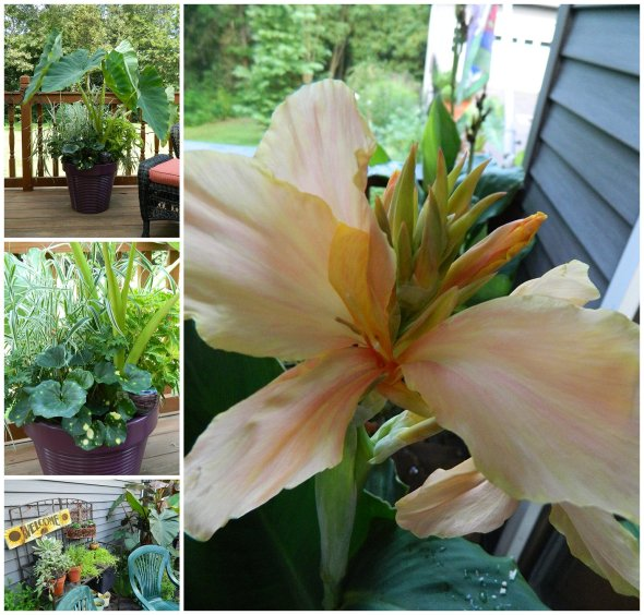 Made a a Container Garden Party and Canna Bloom