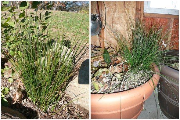 Stored pot will return Juncus effusus each season