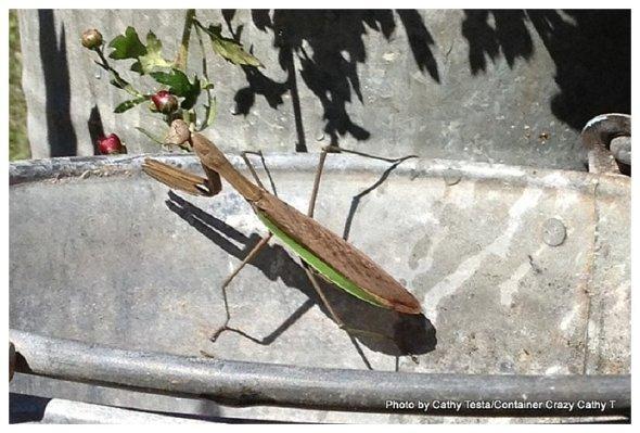 praying mantis_0003
