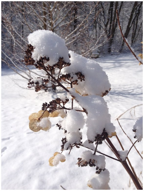 Photo by Cathy Testa, Panical Hydrangea Covered in Snow
