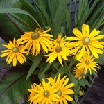 Photo by C. Testa (Rudbeckia blooms)